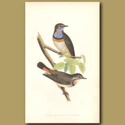 Swedish Blue-Throated Warbler
