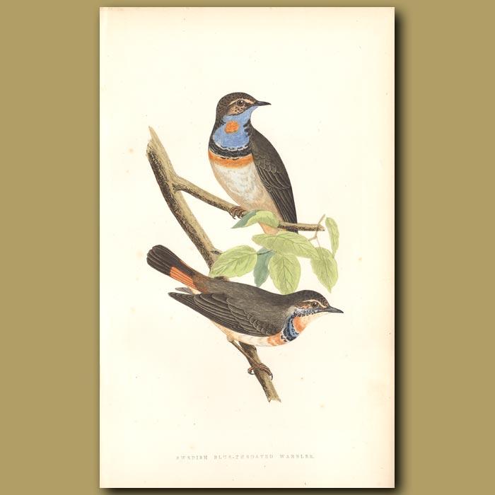 Antique print. Swedish Blue-throated Warbler