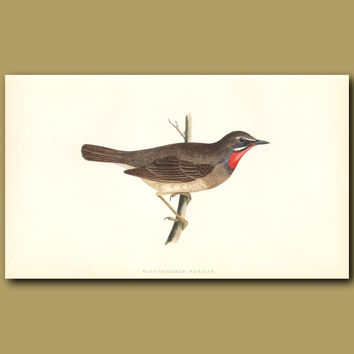 Antique print. Ruby-throated Warbler