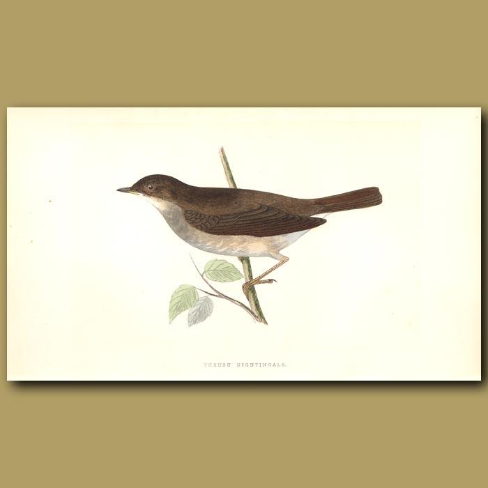 Antique print. Thrush Nightingale