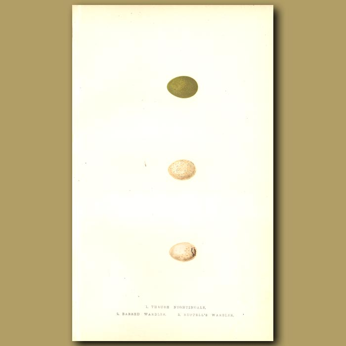 Antique print. Thrush Nightingale, Barred Warbler and Ruppell's Warbler eggs