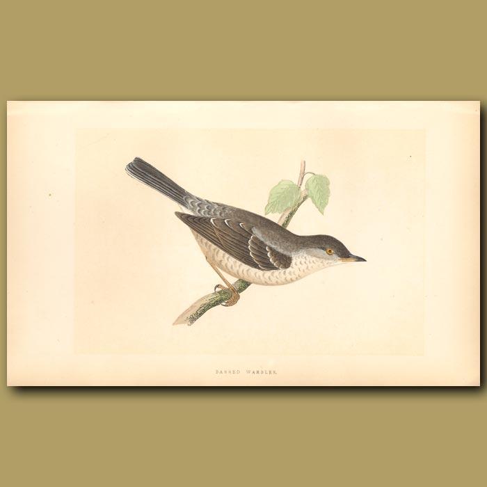 Antique print. Barred Warbler