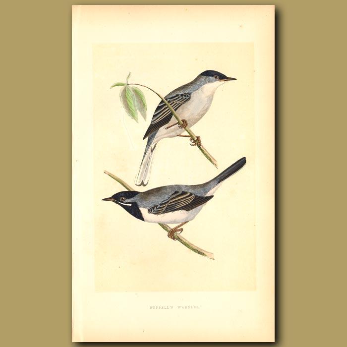 Antique print. Ruppell's Warbler