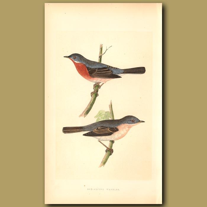 Antique print. Sub-alpine Warbler