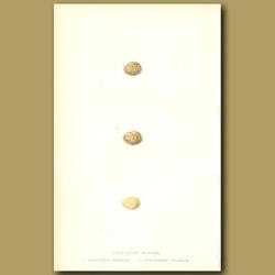 Sub-Alpine Warbler, Sardinian Warbler And Spectacled Warbler Eggs