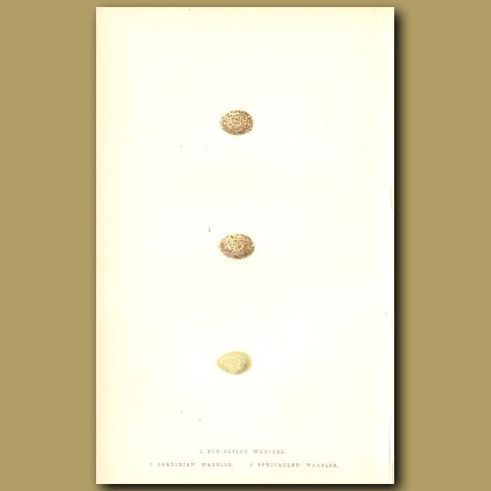 Antique print. Sub-alpine Warbler, Sardinian Warbler and Spectacled Warbler eggs