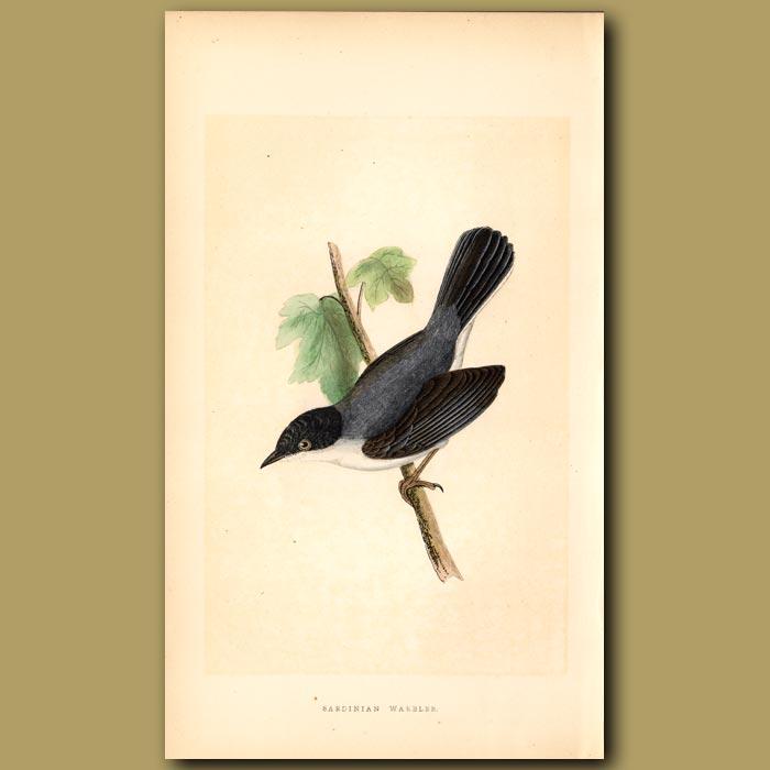 Antique print. Sardinian Warbler