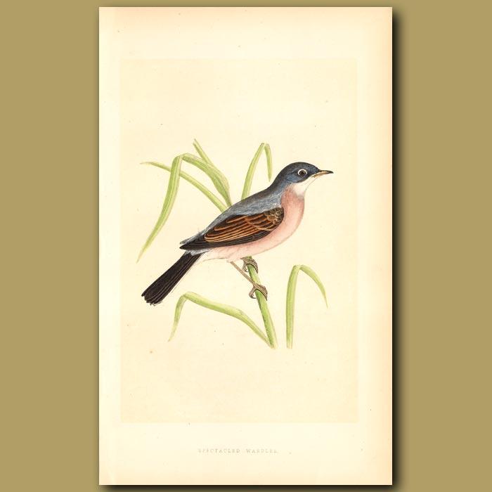 Antique print. Spectacled Warbler