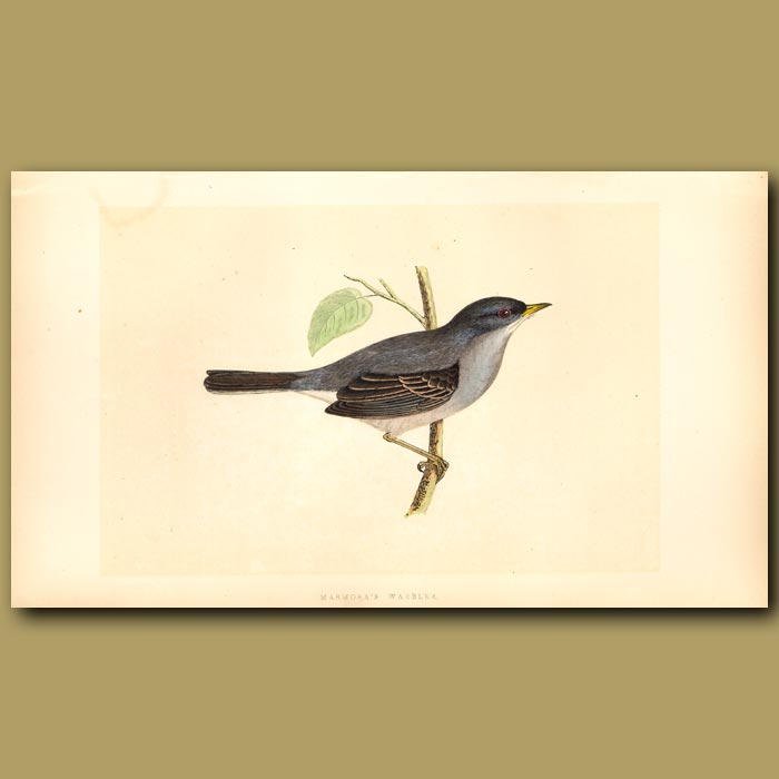 Antique print. Marmora's Warbler