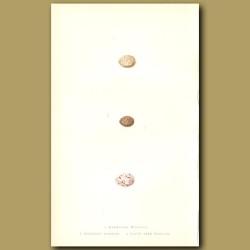 Marmora's Warbler, Bonelli's Warbler And Olive Tree Warbler Eggs