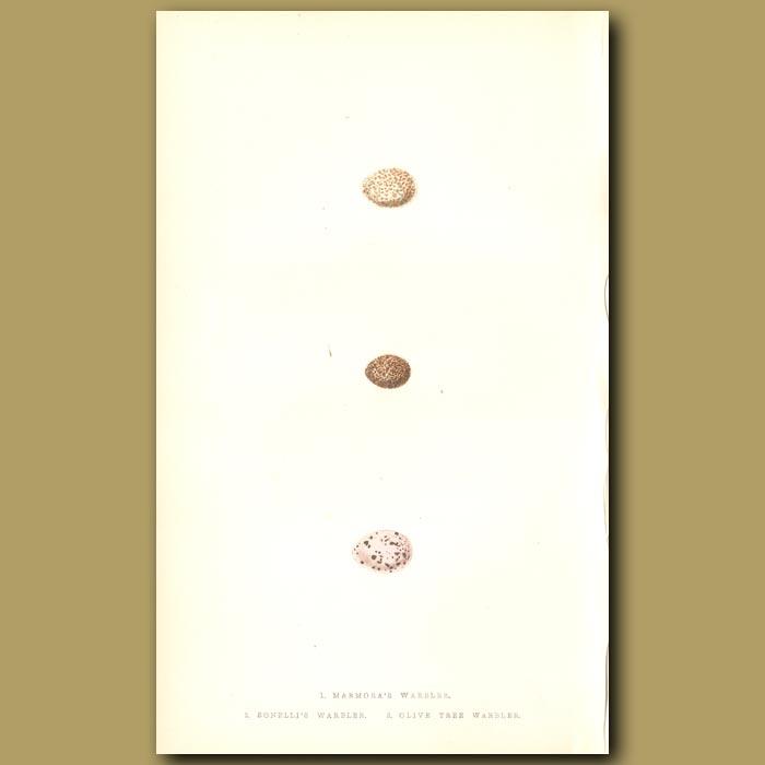 Antique print. Marmora's Warbler, Bonelli's Warbler and Olive Tree Warbler eggs