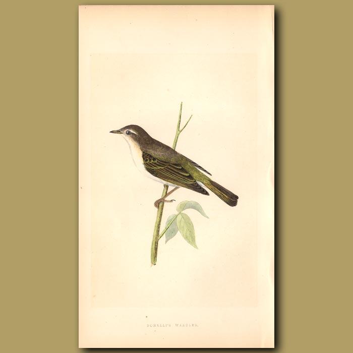 Antique print. Bonelli's Warbler