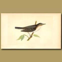Olive Tree Warbler