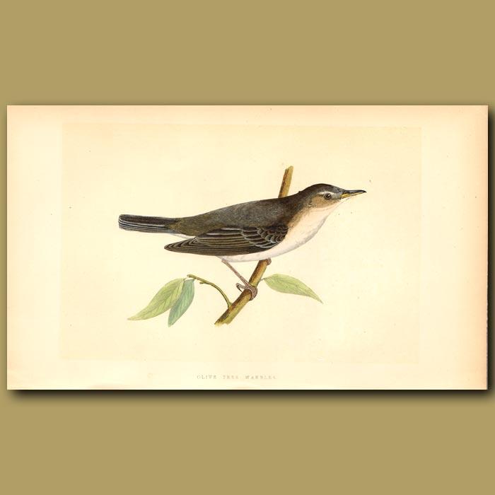 Antique print. Olive Tree Warbler