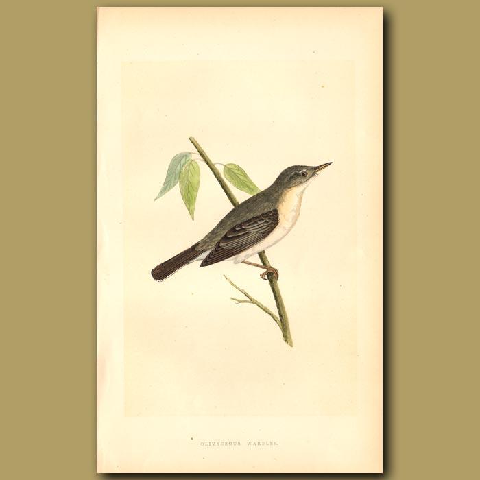 Antique print. Olivaceous Warbler