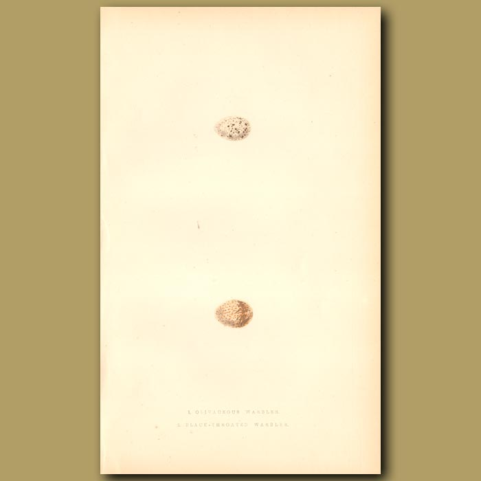 Antique print. Olivaceous Warbler and Black-throated Warbler eggs