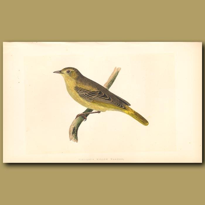 Antique print. Vieillot's Willow Warbler