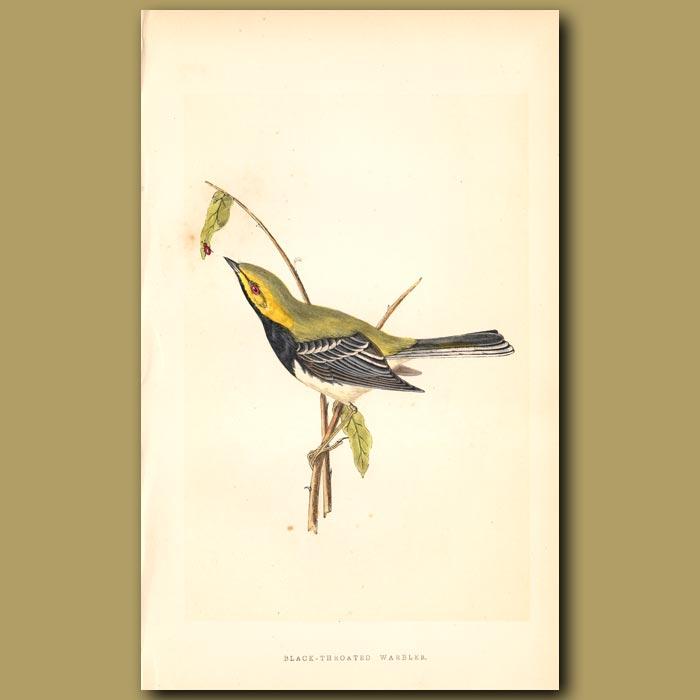 Antique print. Black-throated Warbler