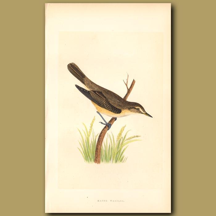Antique print. Marsh Warbler