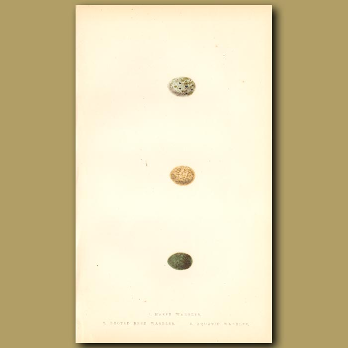 Antique print. Marsh Warbler, Booted Reed Warbler and Aquatic Warbler eggs