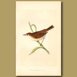 Booted Reed Warbler