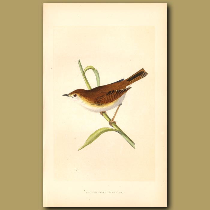 Antique print. Booted Reed Warbler