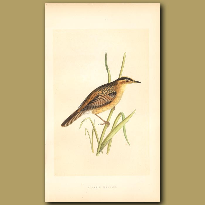 Antique print. Aquatic Warbler