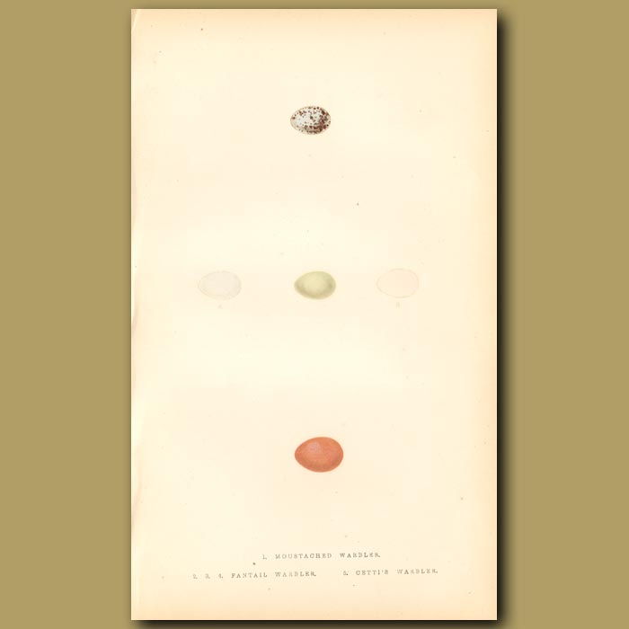 Antique print. Moustached Warbler, Fantail Warbler and Cetti's Warbler eggs