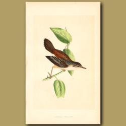 Fantail Warbler