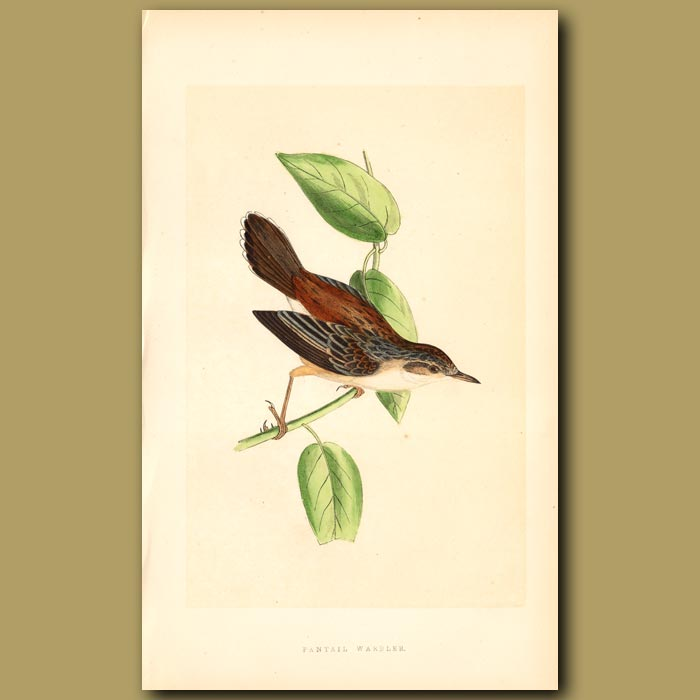 Antique print. Fantail Warbler
