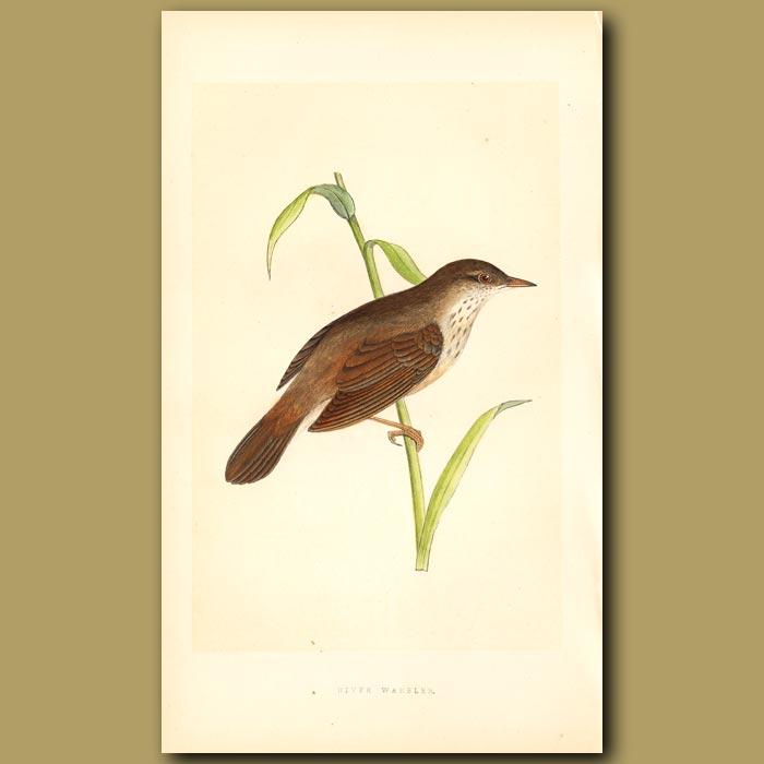 Antique print. River Warbler