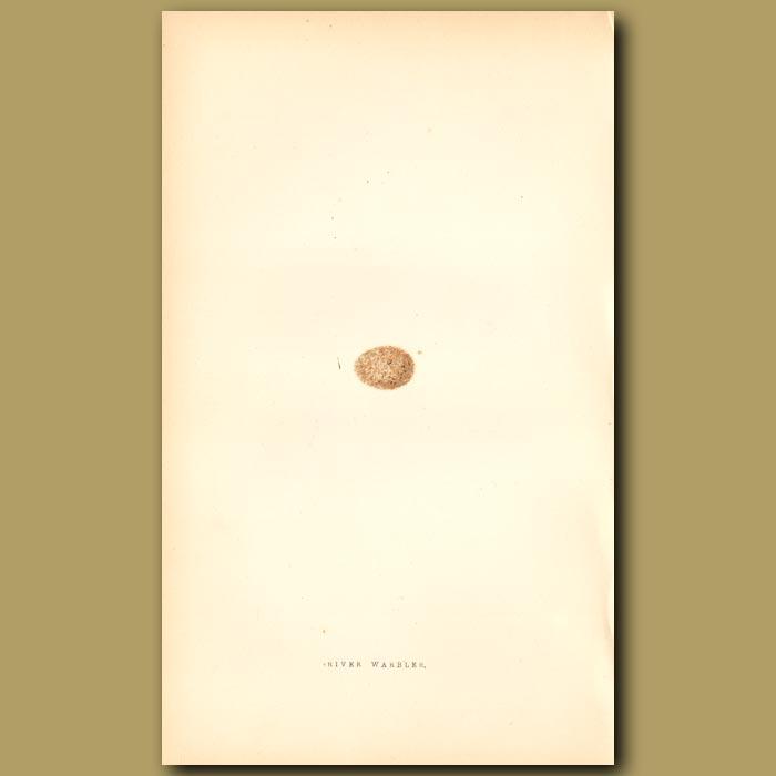 Antique print. River Warbler egg
