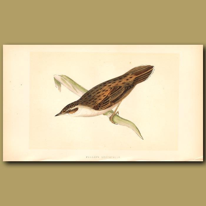 Antique print. Pallas's Locustelle