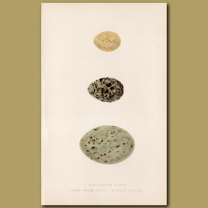 Plover and Bustard Eggs
