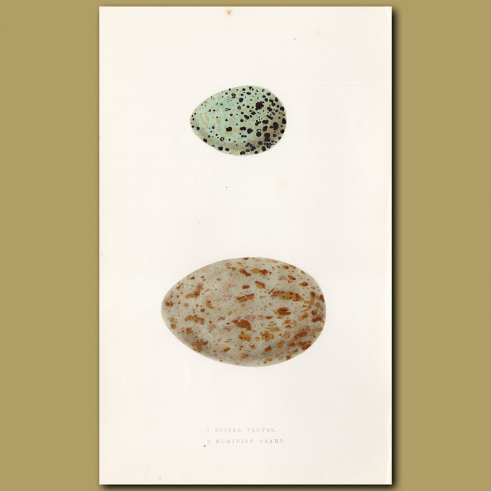 Plover and Numidian Crane Eggs