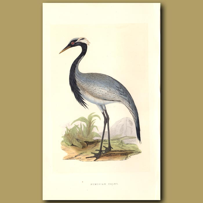 Antique print. Numidian Crane