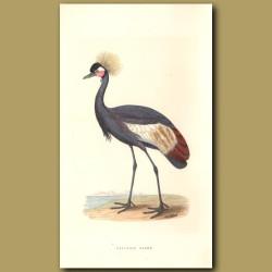 Balearic Crane
