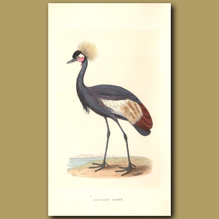 Antique print. Balearic Crane