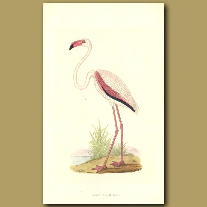 Antique print. Rosy Flamingo
