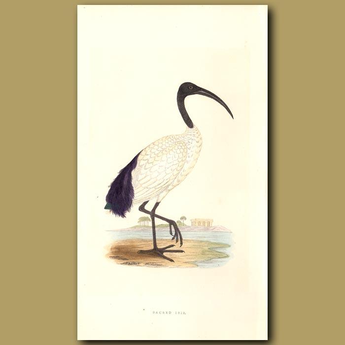Antique print. Sacred Ibis