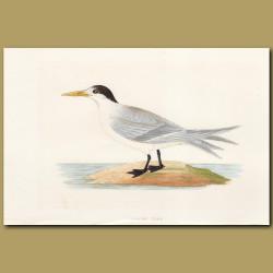 Allied Tern