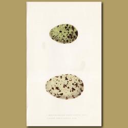 Mediterranean Black-headed Gull and Great Black-headed Gull Eggs
