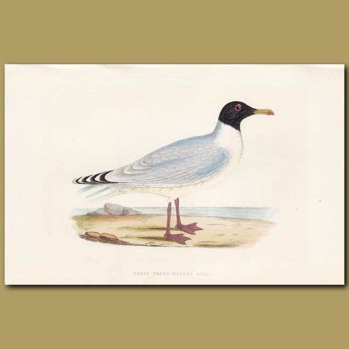 Great Black-headed Gull