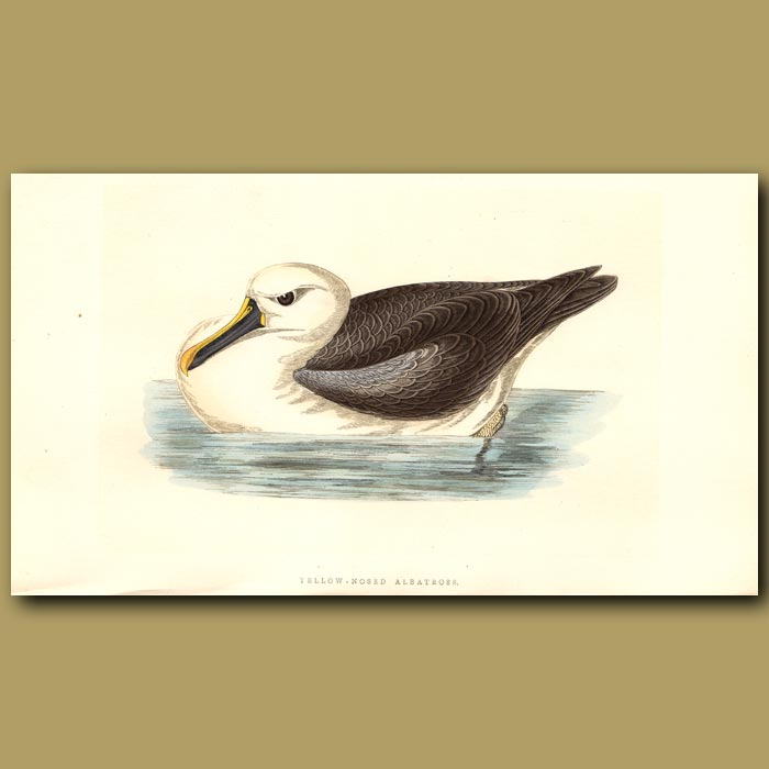 Antique print. Yellow-nosed Albatross