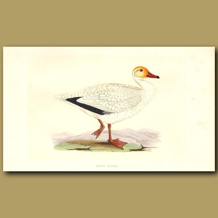 Antique print. Snow Goose