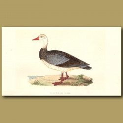 Blue-Winged Goose