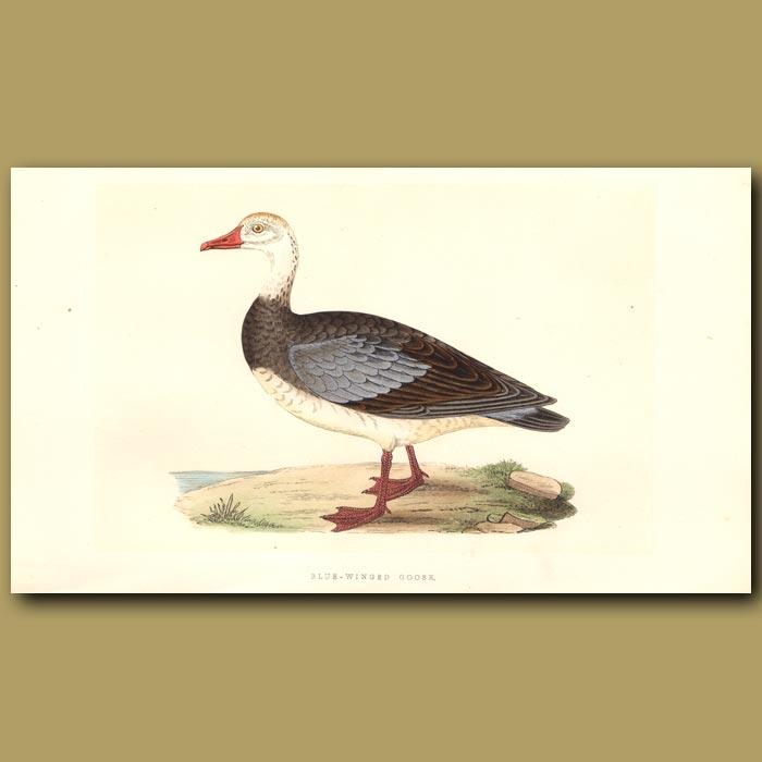 Antique print. Blue-winged Goose