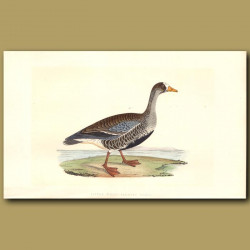 Little White-Fronted Goose
