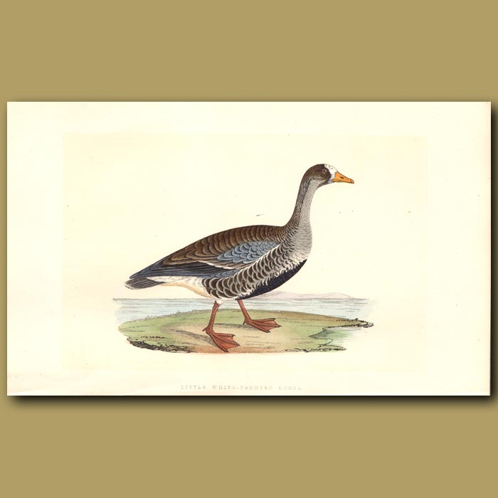 Antique print. Little White-fronted Goose