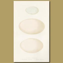 Little Cormorant, Dalmation Pelican and White Pelican Eggs